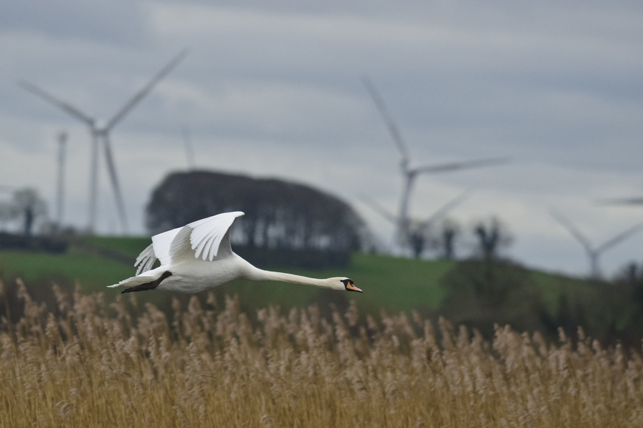 animals in the wild, animal themes, one animal, bird, animal wildlife, day, flying, wind turbine, environmental conservation, wind power, alternative energy, fuel and power generation, focus on foreground, white color, nature, spread wings, outdoors, field, no people, grass, beauty in nature, great egret, windmill, sky, industrial windmill