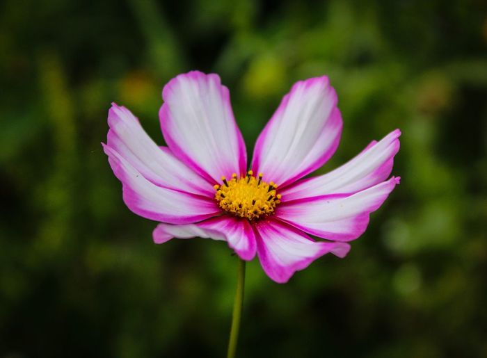 Flower Petal Fragility Flower Head Nature Pollen Beauty In Nature Focus On Foreground Blooming Growth Freshness Pink Color Plant No People Day Outdoors Close-up Cosmos Flower Osteospermum Eastern Purple Coneflower