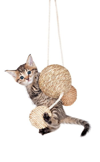 Animal Themes Day Domestic Animals Domestic Cat Feline Hanging Looking At Camera Mammal No People One Animal Pets Portrait Sitting Studio Shot White Background