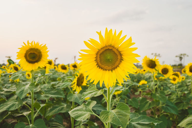 Sunflowers Growing On Field Against Sky