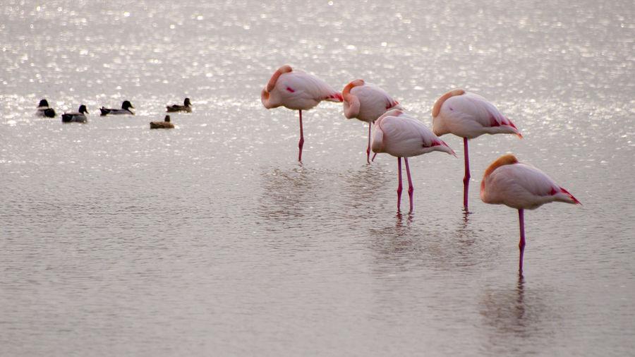 Flamingoes And Ducks On Lake