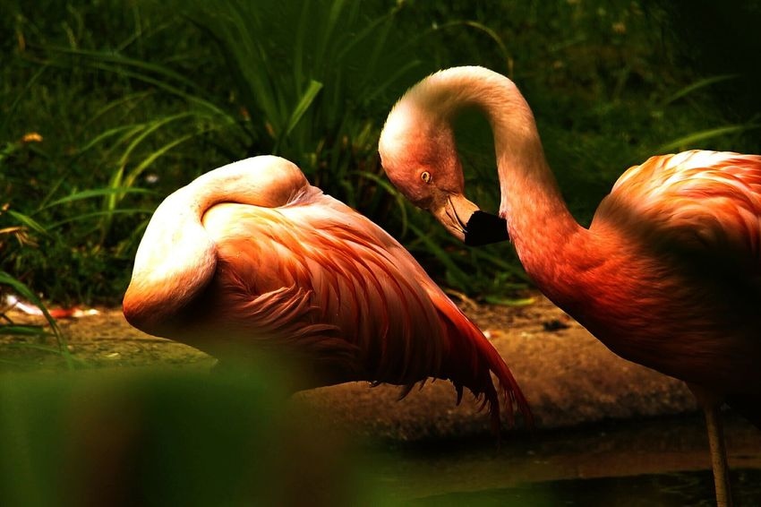 Pink flamingos at Zoo De La Flèche France Animal Wildlife Nature Grass Outdoors Archival One Animal Animal Themes Animals In The Wild Beauty In Nature Water Day Flamingo Close-up 3XSPUnity Fresh On Eyeem  Animals