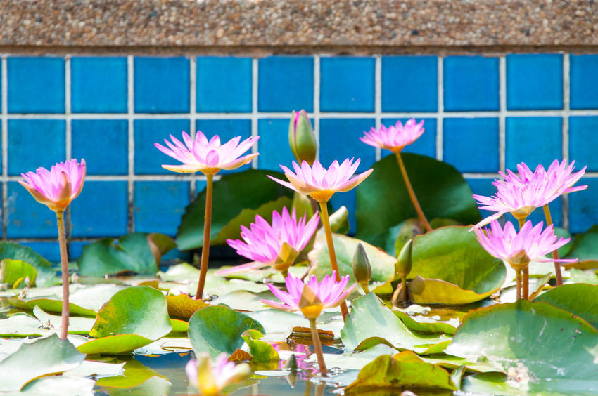 Beauty In Nature Blooming Blue Close-up Day Flower Flower Head Freshness Growth Leaf Leafs Lotus Lotus Flower Nature No People Outdoors Petal Pink Color Plant Purple Stem Water Lily