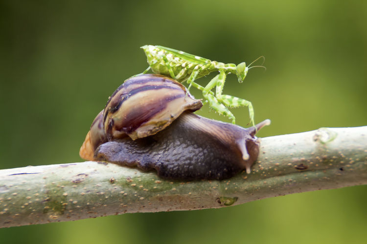 mantis and snail Animal Themes Invertebrate Animal Wildlife One Animal Animal Animals In The Wild Close-up Plant Insect Mollusk Focus On Foreground No People Nature Gastropod Snail Day Beauty In Nature Green Color Growth Shell Outdoors