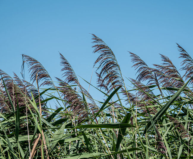 Low angle view of corn field against clear blue sky