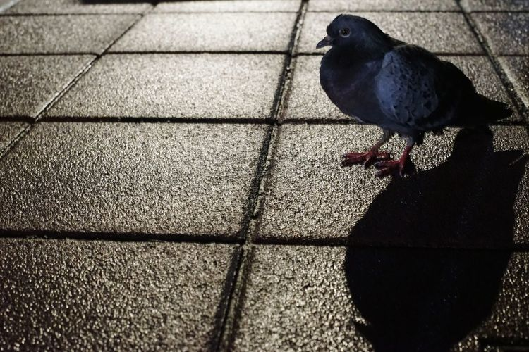 High angle view of pigeon perching on tiled floor