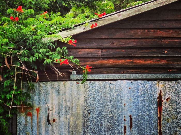 Old Workshop Old Buildings Old Garage Shack Wooden Structure Nature Growth Red Flowers On The Wall Rusted Metal  Rusted Metal Texture Wood And Metal Small Barn Weeded Plants Growing Into The Wall