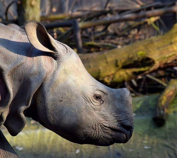 rhino Beautifull Strong Rhinoceros Lerhinoceros Prilaga Rhinocerosinlove