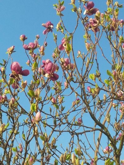 magnolia Beauty In Nature Branch Clear Sky Close-up Day Flower Freshness Growth Low Angle View Nature No People Outdoors Pink Color Sky Tree