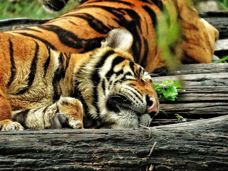 Animals In The Wild Animal Themes Tiger One Animal Day Mammal Animal Wildlife No People Relaxation Outdoors Nature Close-up