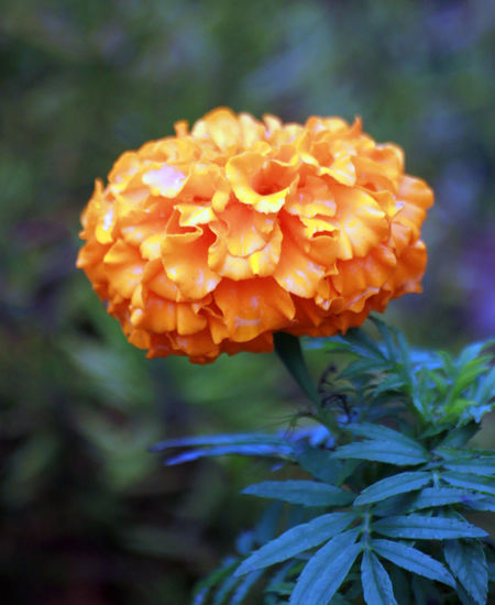 Beauty In Nature Blooming Close-up Day Flower Flower Head Focus On Foreground Fragility Freshness Growth Lantana Camara Nature No People Outdoors Petal