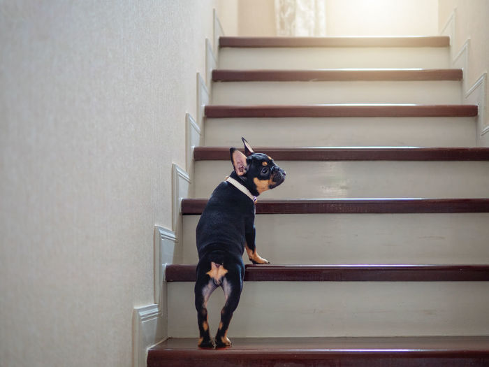 Puppy french bulldog try to learn to going up staircase at home. Staircase One Animal Pets Domestic Mammal Domestic Animals Indoors  Steps And Staircases Canine Full Length Architecture Dog One Person Vertebrate Real People Home Interior Railing Pet Owner Puppy Growth Growing French Bulldog Up Stairs Relaxing Home Animal Back Tan Brown Gold Learning Try Yong Baby Bred Pedigree Bulldog Crawling Offer Doggie Friends Funny