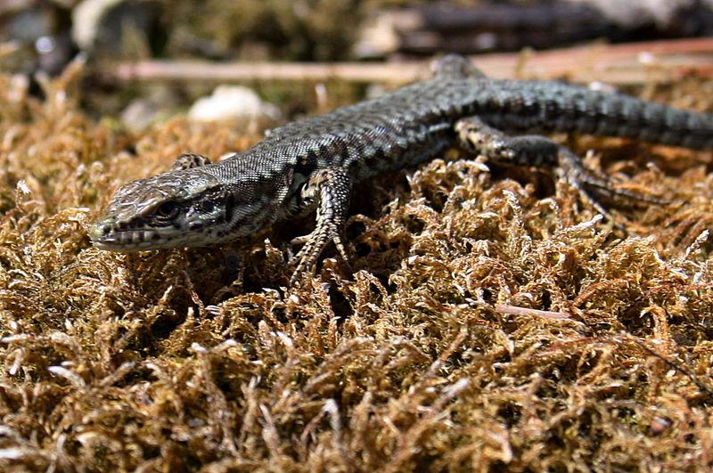 Lizard Drôme