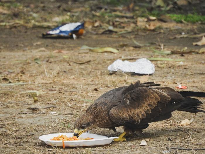 Danger Plastic Pollution Bird Of Prey Prey Black Kite Kite Raptor Predator Hunter Eating Feeding  Plastic Environmental Issues Animal Themes Bird Bird Bird Of Prey Vulture Beak