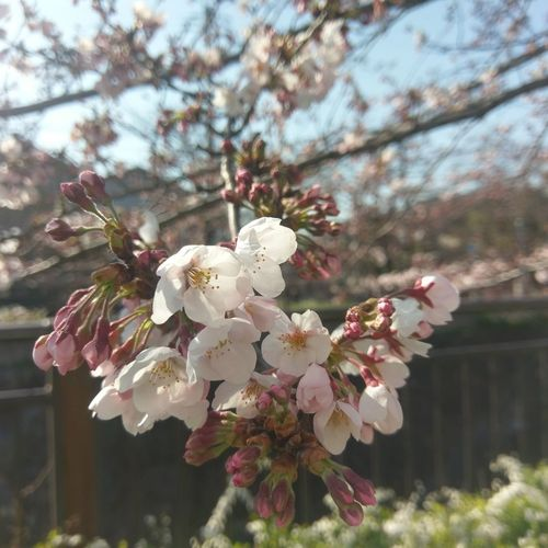 Yamazaki Riber in Nagoya~ Cherry blossoms~ Tree Nature Blossom Flower Springtime PhonePhotography Spring Nagoya Nagoya-shi Enjoying Life Htc10 Nature EyeEmJapan Japan HTC_photography Sakura Check This Out Cherryblossom