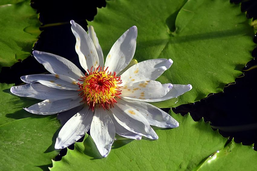 Water Lillies captured by Just Jules of i-2-i Photography Beauty Beauty In Nature Close-up Floating On Water Flower Growth Kew Garden Lily Pond Kew Garden Water Lillies\ Kew Gardens Kew Gardens, London Nature Outdoors Plant Water Water Lillies Water Lillies By Jj Water Lilly, Pond, Flower, Water Lily Water Lily, Flower