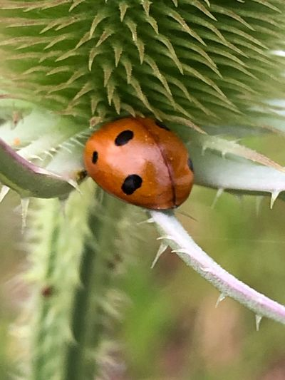 Animal Wildlife Animals In The Wild One Animal Insect Animal Plant Animal Themes Ladybug Close-up Focus On Foreground Invertebrate No People Leaf Plant Part Nature Growth Day Green Color Outdoors