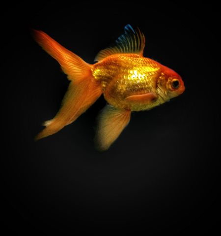 Black Background One Animal No People Underwater Animal Themes Sea Life Nature Close-up EyeEm Phillipines Gold Fish Gold Fish In A Glass Tank Pet Fish Pets