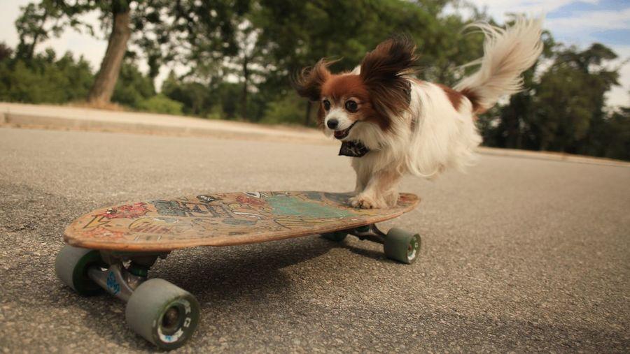 Dog Standing On Skateboard