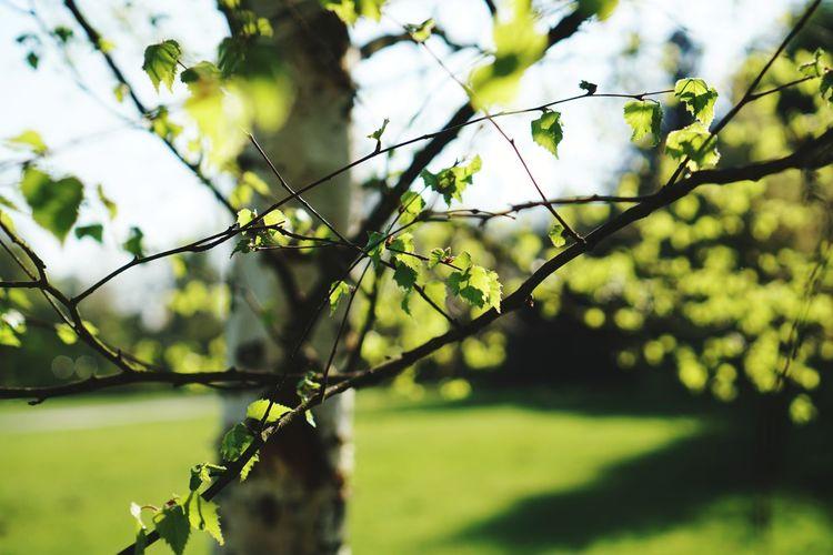 Birke Tree