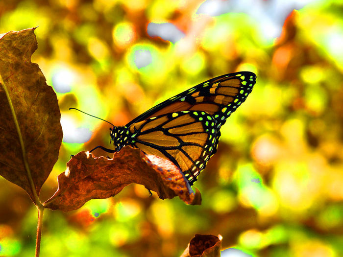 Beautiful Nature Exquisite Beauty Nature Paint The Town Yellow Yellow Leaves Beautiful Butterfly Beauty Beauty In Nature Butterfly Mellow Yellow Monarch Butterfly Yellow Yellow Background Yellow Butterfly Yellow Color
