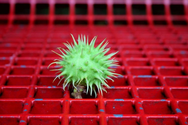 Chestnut on Red Bench Canon Canonphotography Canon EOS 1300D Red Green Bench Chestnut Paderborn Close-up Spiky Spiked