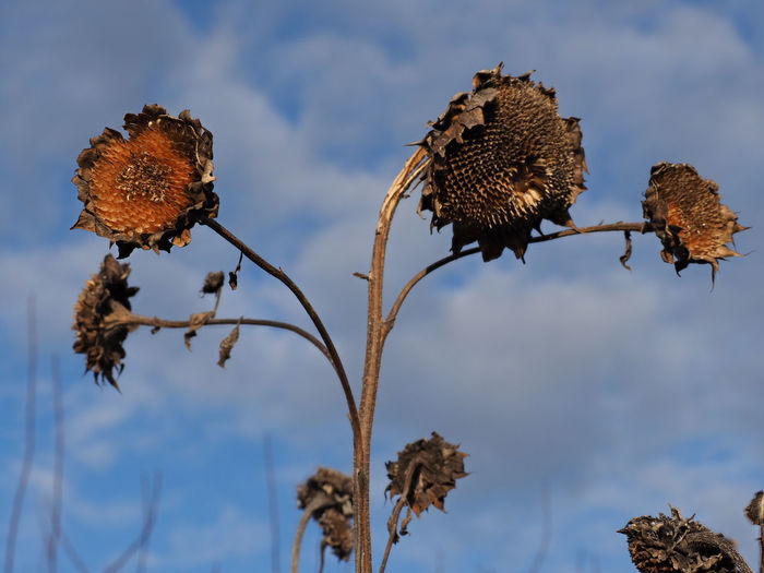 Close-up of dried plant against sky