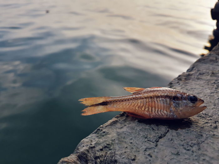 Close-up of dead fish on rock by sea