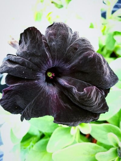 Gorgeous black flower here! Fragility Nature Flower Close-up Freshness Focus On Foreground Petal No People Beauty In Nature Day Flower Head Plant Outdoors Leaf Tranquility Living Organism EyeEmNewHere Beauty Freshness Beauty In Nature Plant Nature Growth Summer Deep Purple