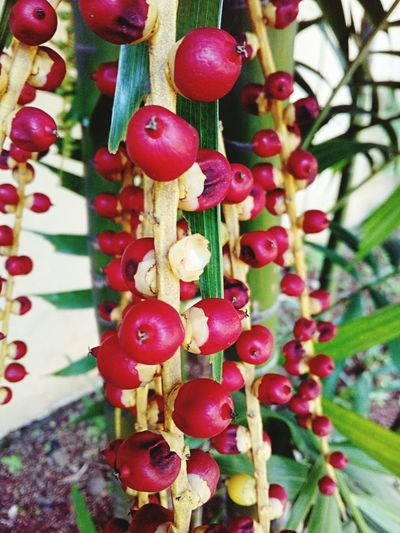 Palm Berries Cluster Seeds Color Vibrant Colors Brilliant Red Tree Jakarta Indonesia Seaonal Ornamental