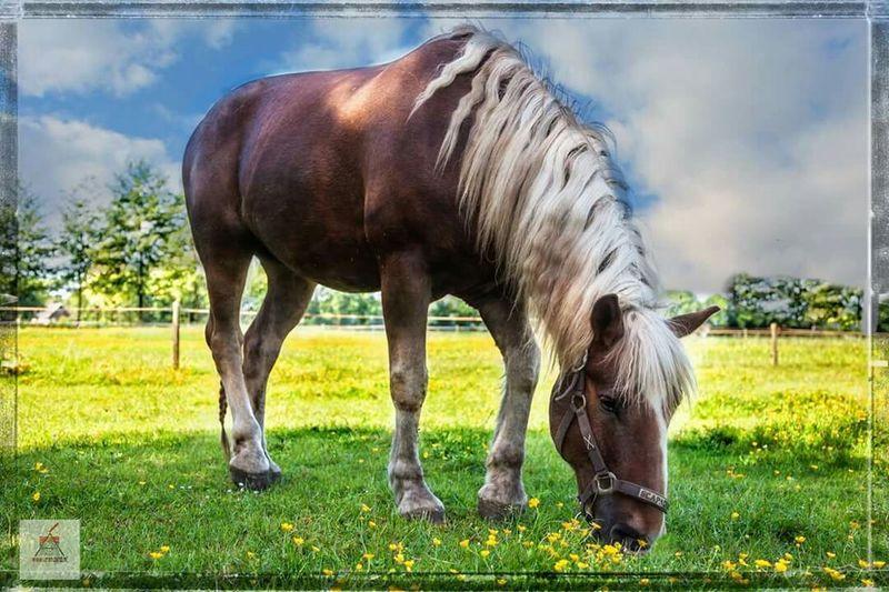 Canon5dmarkiii Canon 70-200 F2.8 L IS-II EyeEm Nature Lover SchwarzwalderFuchs My Horse Blackforest Chestnut Horse Horse Photography  Horses EyeEm Best Shots