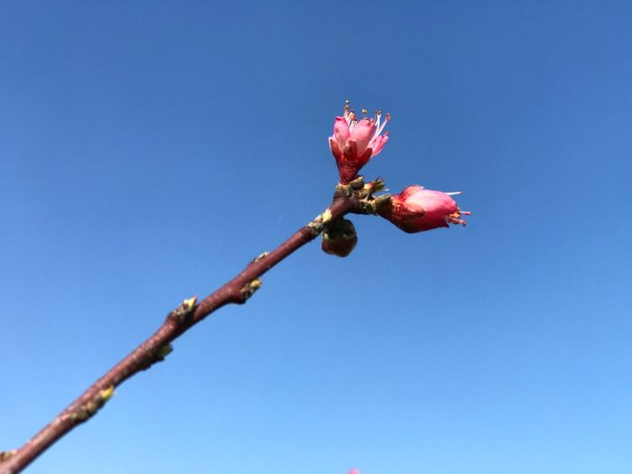 Peach flower Sky Plant Blue Beauty In Nature Nature Flower Clear Sky Flowering Plant Freshness Low Angle View Growth Vulnerability  Fragility No People Petal Close-up Day Inflorescence Flower Head Plant Stem