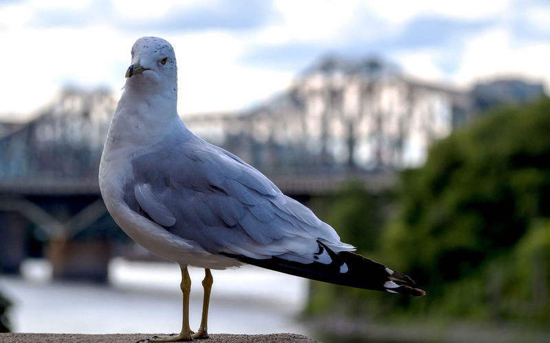 The ring-billed gull (Larus delawarensis) and the Alexandra Bridge, Ottawa, Canada Vertebrate Bird Animal Themes Animal Wildlife Animal Animals In The Wild One Animal Focus On Foreground Perching Day Close-up No People Nature White Color Seagull Outdoors Railing Looking Beauty In Nature Sunlight Ottawa Canada City Capital Cities  Afternoon Sunset Light