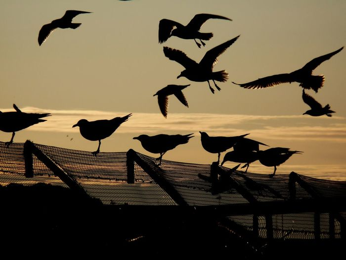 Sky Silhouette Sunset Group Of Animals Bird Animal Themes Animal Vertebrate Animals In The Wild Animal Wildlife Nature Flying Large Group Of Animals Beauty In Nature Water Sea No People Scenics - Nature Orange Color Flock Of Birds Outdoors