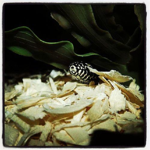 Morrigan  Desertkingsnake Snakeface Snek reptilesofinstagram