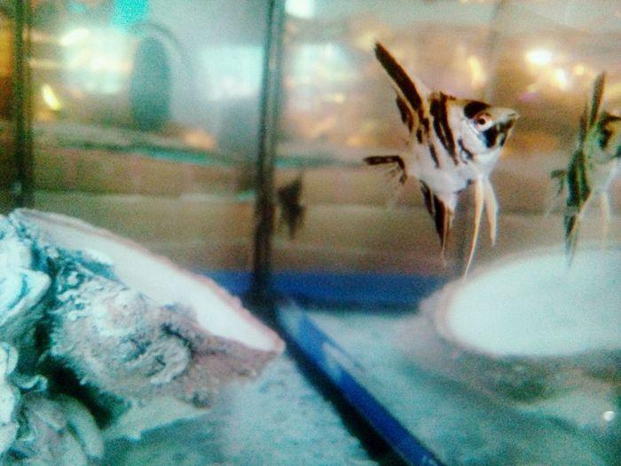 meet my angel fish 😇 Water Close-up Fish Tank Aquarium Tank School Of Fish Underwater Fish Animals In Captivity Transparent
