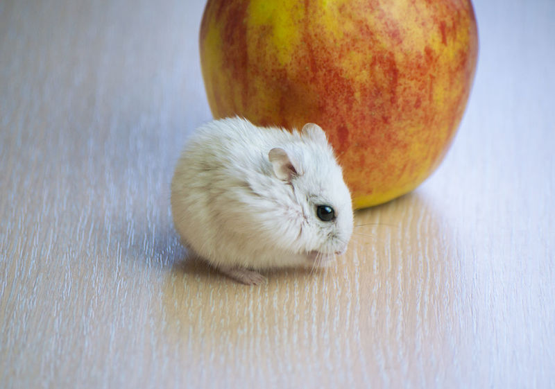 Apple Cute Furry Love Of Nature Pet Shop  Zoo Animal Themes Domestic Animals Freshness Fruit Furry Hamster Hands, Healthy Eating Mammal Mouse Nature One Animal Pets