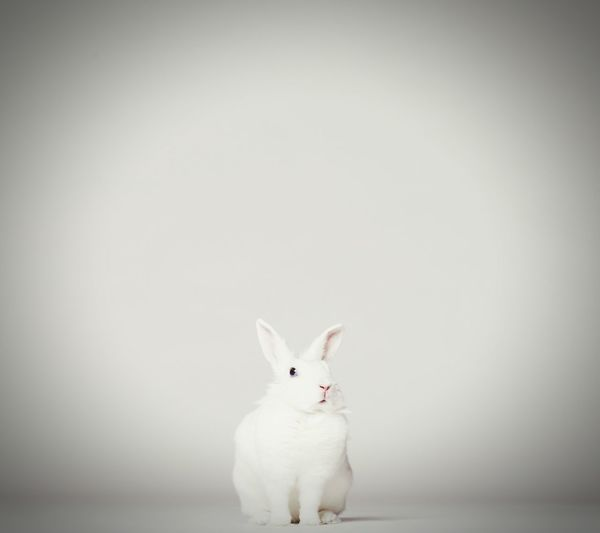 Cute rabbit Animal Pets Cute Looking At Camera Animal Themes Mammal Humor One Animal Portrait White Background Studio Shot Domestic Animals Full Length Indoors  No People Day Close-up Rabbit 🐇