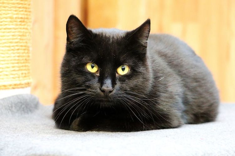 beautiful black cat is lying on a scratching post and looking into the camera Pets Cat Domestic Cat Feline Portrait Whisker Close-up Indoors  Yellow Eyes Black Color Relaxation Looking At Camera Animal Animal Themes Lying Down Tabby Scratching Post Fluffy Black Cat Animal Eye