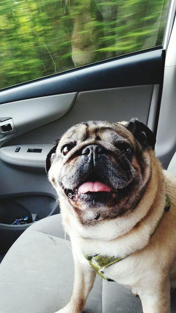 My pug in the car Pug Life  Pug Moving Car Happydog Traveling Dogslife DogLove Doglife Puglife Pugofmylife