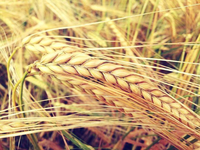 Wheat Close-up HuaweiP9 Dual Lens Leica_camera Sun EyeEmNewHere