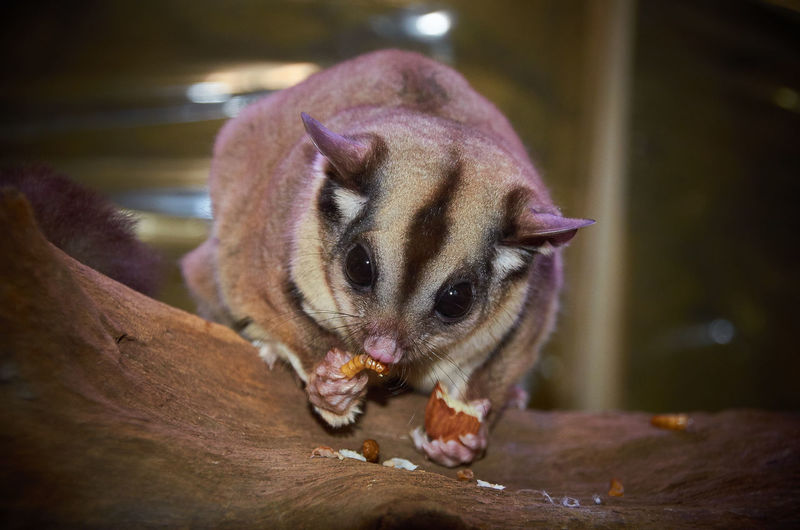 Animal Animal Body Part Animal Head  Animal Themes Australian Wildlife Close-up Cute Day Feeding  Feeding Animals Focus On Foreground Furry Creature Mammal Marsupials Nature No People Pets Portrait Relaxation Resting Selective Focus Sugar Glider Wildlife Wildlife & Nature Wildlife Photos