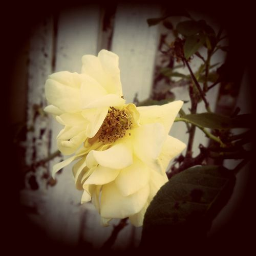 EyeEm Vision Rose🌹 Roseporn EyeEm Nature Lover Delicate Petals Creme Caramel Old School Romance Whithering Showcase: February