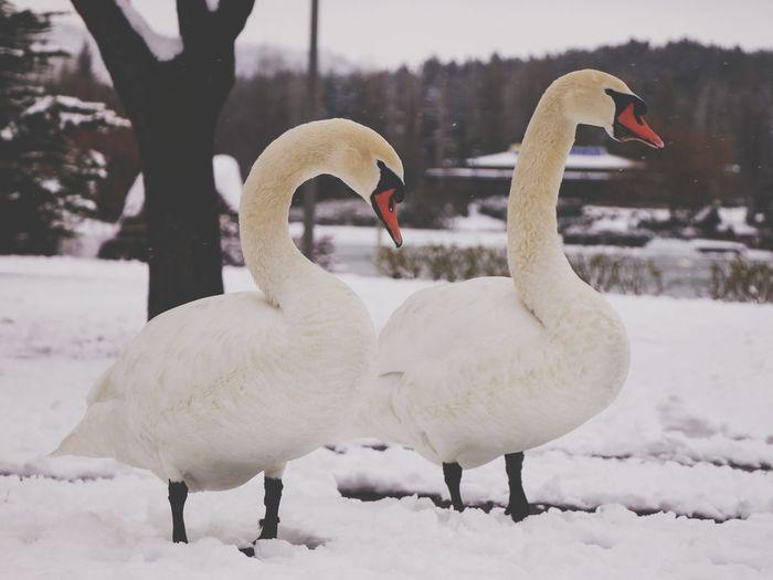 White ducks on snow covered land