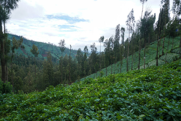 Gardens in the valley, Mount Bromo. Plant Green Color Tree Sky Growth Tranquility Beauty In Nature Land Nature Tranquil Scene Scenics - Nature No People Environment Day Landscape Mountain Non-urban Scene Cloud - Sky Forest Outdoors Plantation Valley Hill Plant Plant Life