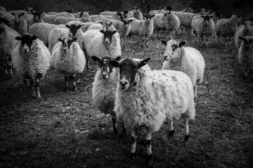 Blackandwhite My Point Of View Close Up EyeEm Gallery Black And White Blackandwhite Photography EyeEm Best Shots Canon Eos M3 Bnw_collection Black & White Eye4photography  Group Of Animals Animal Animal Themes Domestic Animals Mammal Livestock Vertebrate Flock Of Sheep Sheep Nature Agriculture Large Group Of Animals