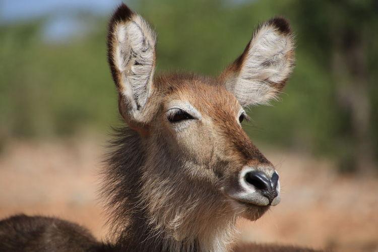 Close-up of waterbuck