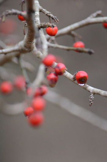 Fruit Branch Food Tree Healthy Eating Berry Fruit Red Food And Drink Plant Close-up No People Nature Day Growth Selective Focus Twig Beauty In Nature Focus On Foreground Outdoors Freshness Rowanberry