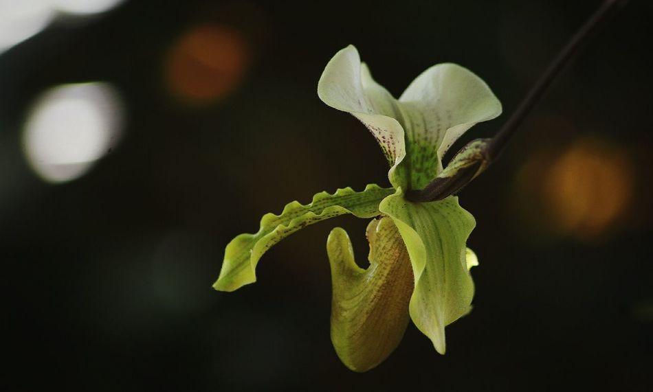 Orquidea flower Close-up Orquideas Flower