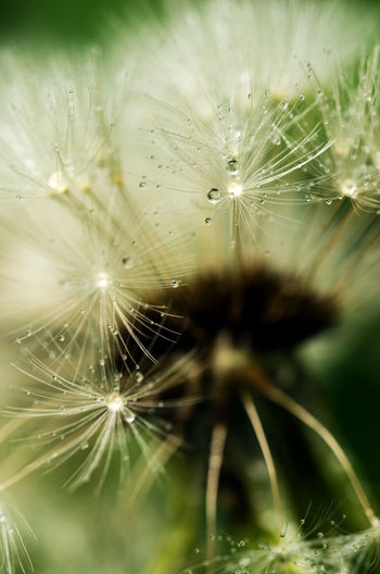 Fragility Vulnerability  Close-up Nature Drop Selective Focus Spider Web Beauty In Nature Dandelion Plant No People Focus On Foreground Wet Spider Flower Day Freshness Outdoors Flowering Plant Water Dandelion Seed Dew Softness Web RainDrop